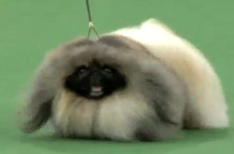 Best In Show Westminster Dog Show 2012 pekenese