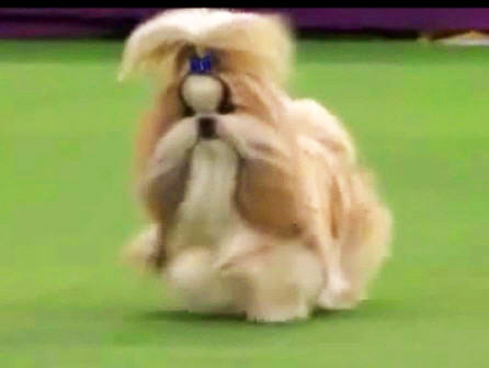 Best in Toy Breed West Minister Kennel Club Dog Show 2015 Shih Tzu  GCH Hallmark Jolei Rocket Power