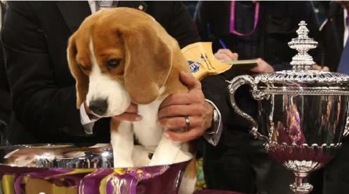 Mr.P four-year-old beagle won Best inShow Westminster Kennel Club dog show Feb 17 2015